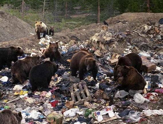 Стая медведей поселилась намусорной свалке вЮгре